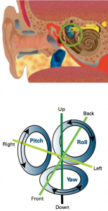 Forces on the ear: Each of the three canals in the inner ear is aligned along a different axis of rotation and contains a small tuft of sensory hairs (above circled). Orientation illusions can occur when these hairs are affected by acceleration.